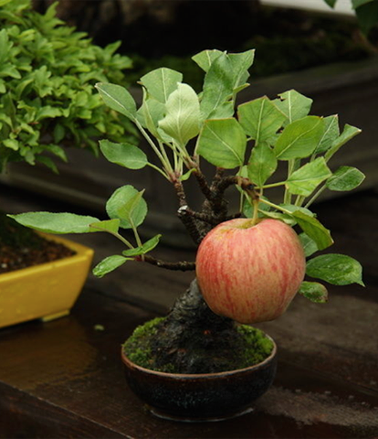 بونسای- سیب
